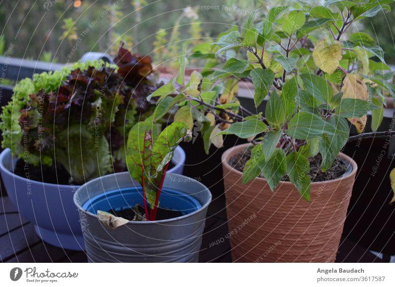 Urban Gardening: Mangold, Salat und Salbei vom Balkon Urban gardening salbeiblatt Mangoldblätter Garten Gemüse Ananas-Salbei Gemüseanbau Vegetarische Ernährung