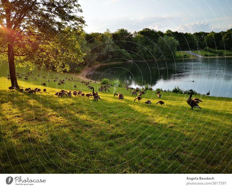 Kanadagänse mit Nachwuchs in der Abendsonne am See Kanadagans Küken Sonnenstrahlen Seeufer Gans Gänse Jungvögel Schwarm Schwarmvogel essen und trinken friedlich