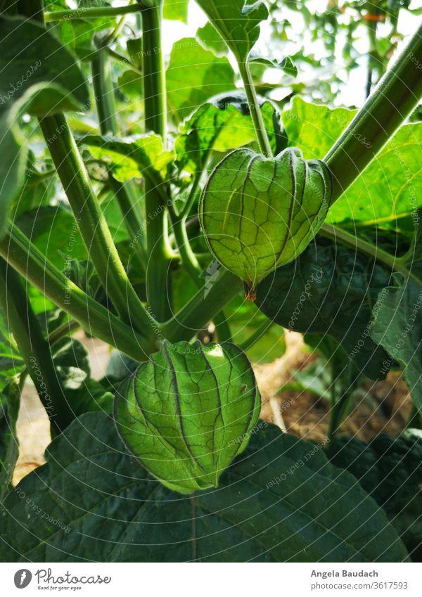 eigenes Bio-Gemüse anbauen: Physalis Garten Gemüsegarten Gemüseanbau Vegetarische Ernährung Kürbisse physalis alkekengi Bioprodukte Lebensmittel frisch