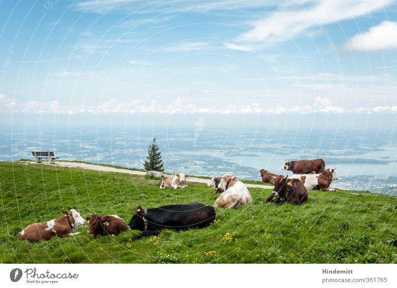 Pech für die Kuh Elsa | FREI, ABER KEINER TRAUT SICH HIN Himmel blau grün Sommer Wolken Ferne Berge u. Gebirge Wärme Freiheit außergewöhnlich braun liegen groß