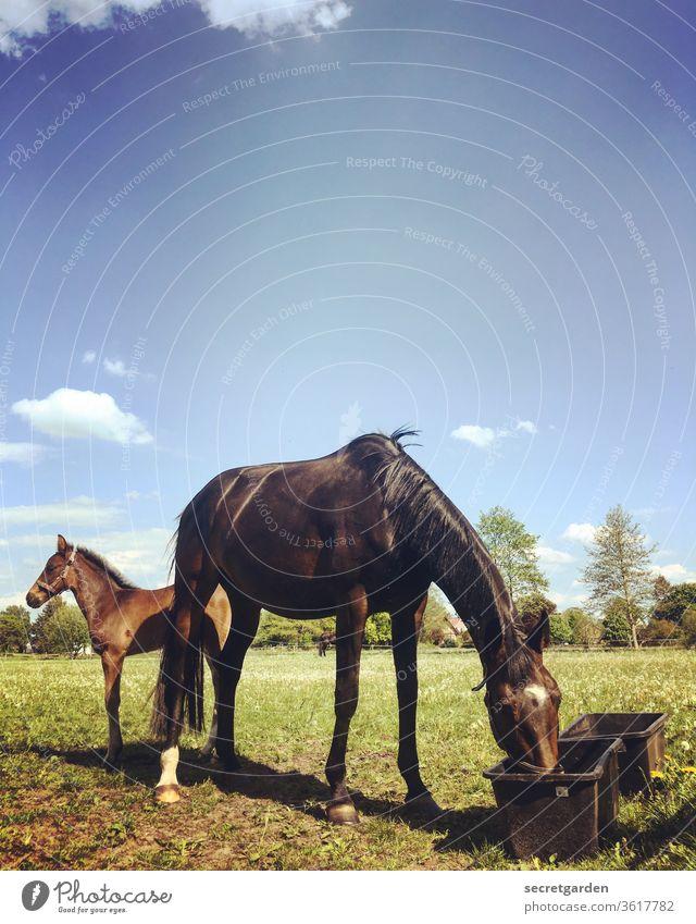 Kommt ein Cowboy vom Friseur. Was sagt er? Pferd Fohlen Wiese trinken Mutter süß gutes Wetter Himmel Koppel Landleben Trog Pferdekopf Pferdezucht Nachwuchs