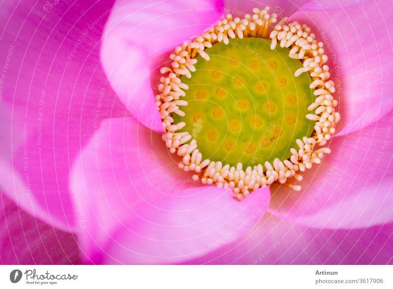 Draufsicht auf die rosa Lotusblüte. Im Buddhismus ist bekannt, dass die Lotusblume mit Reinheit, spirituellem Erwachen und Treue assoziiert wird. Wasserpflanze.