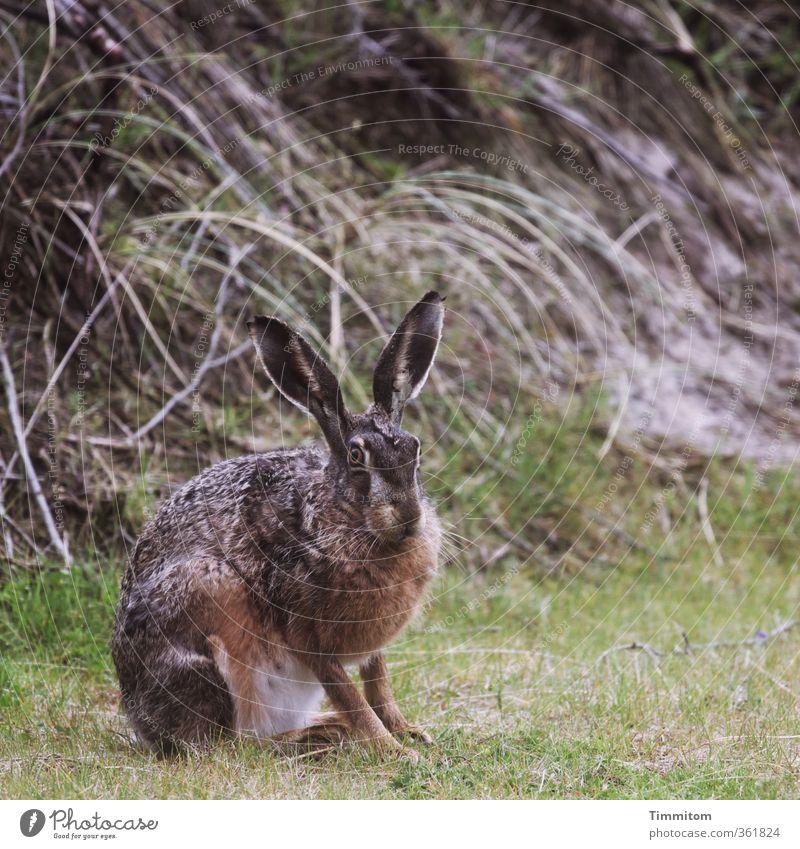 Montagshase, wachsam. Umwelt Natur Tier Dänemark Wildtier Hase & Kaninchen 1 beobachten Blick natürlich braun grün Gefühle Osterhase Farbfoto Gedeckte Farben