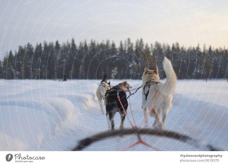 Huskyschlittenfahrt über einen zugefrorenen See bei Sonnenuntergang Winter Rodeln Schlitten Schnee Tier Hund polar kalt weiß aktiv Lappland Wald Kabelbaum Wagen