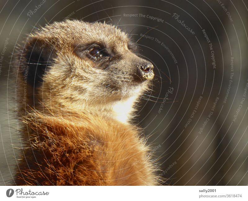 Guten Morgen Sonntag! Erdmännchen Neugier neugierig Tiergesicht niedlich flauschig Fell Schnauze Sonnenlicht aufrecht beobachten Afrika Wildtier Blick