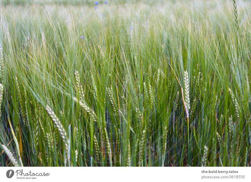 Weizenfeld Getreide Getreidefeld Feld Sommer Natur Nutzpflanze Landwirtschaft Pflanze Ähren Wachstum Ackerbau Außenaufnahme Farbfoto Kornfeld Menschenleer