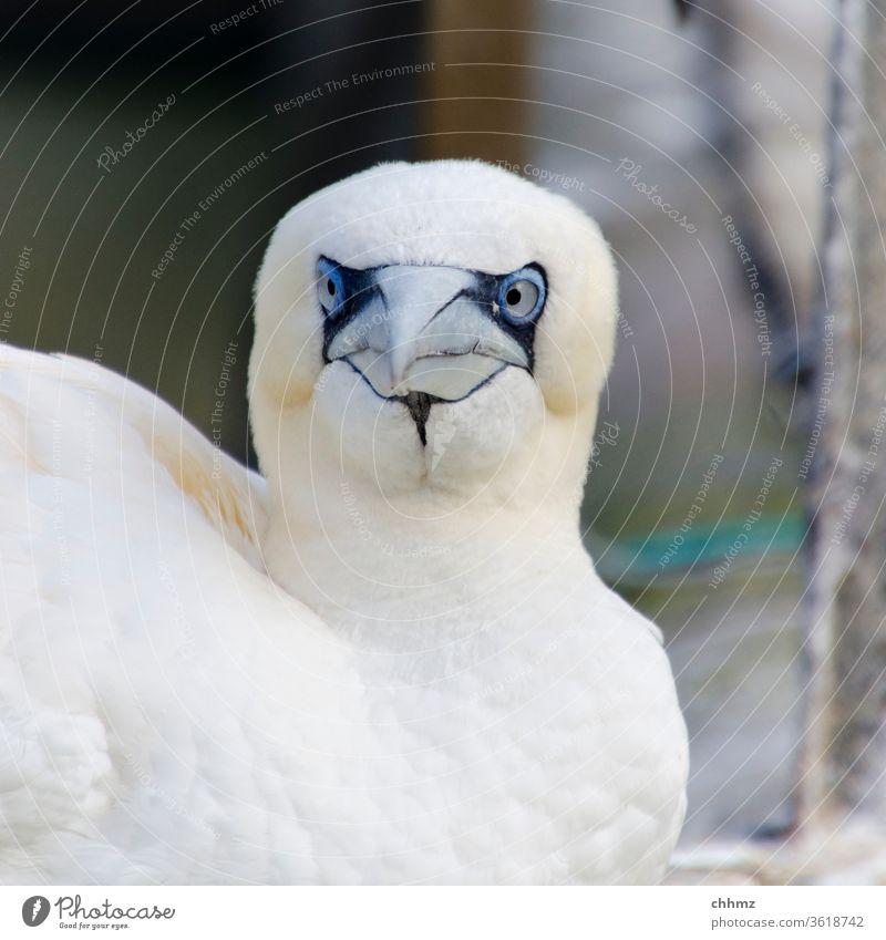 Basstölpel Vogel Wildtier Tierporträt Blick Federn seevogel Achtung obacht frontal Farbfoto Schnabel Flügel Nahaufnahme Gefieder weiß Schielen