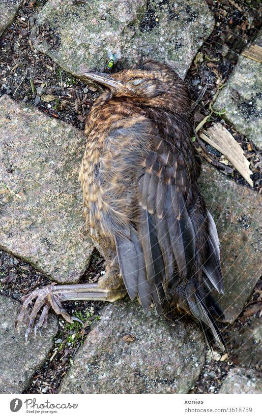 Der Tod kam auf leisen Pfoten zur jungen Amsel, so dass sie starb und auf Pflastersteinen lag. Da war die Fliege schon bereit. Vogel tot Totes Tier sterben