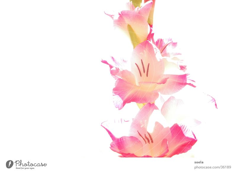 Gladiole Natur Blume Goldener Schnitt