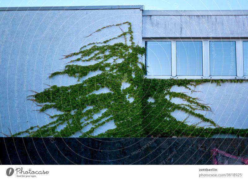 Efeu an der Fassade berlin szene urban haus gebäude fassade fenster efeu wachstum ranke grün begrünung abend dämmerung mauer grundstück blatt wein wilder wein