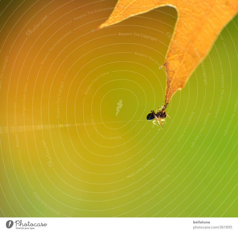 Ick gloob, ick spinne... Natur grün Tier Blatt Wald gelb Umwelt Wiese Tierjunges Herbst Gras Garten braun Park Feld Wildtier
