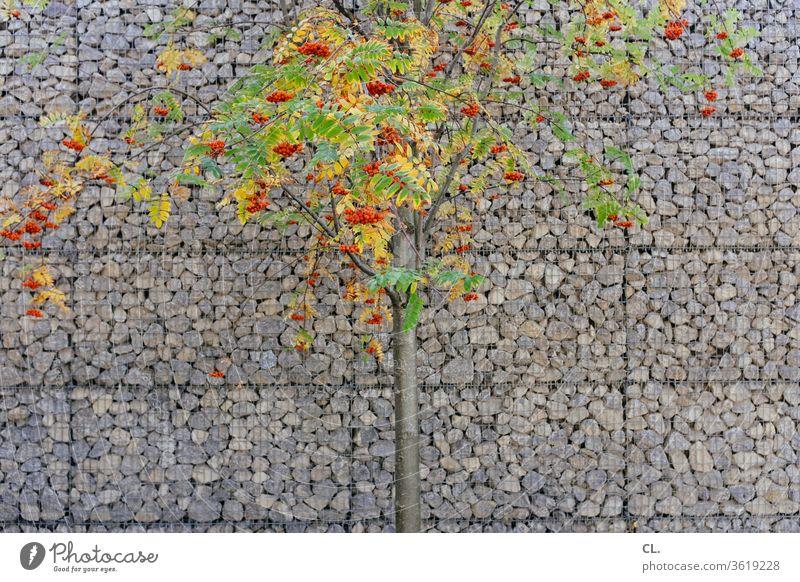 baum mit orangen beeren vor schallschutzwand Baum Schallschutz Schallschutzwand lärmschutz lärmschutzwand Steine Wand Natur rote Beeren Eberesche Vogelbeere