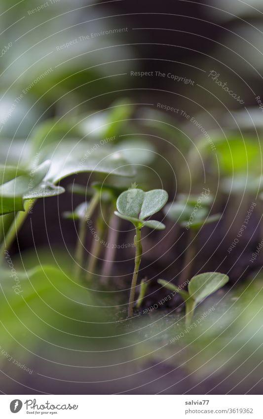 junge Radieschen und Salatpflanzen Gemüse wachsen Pflanze Beet frisch grün Natur Garten Gartenarbeit Wachstum Erde Blatt natürlich Lebensmittel Vitamin Sprossen