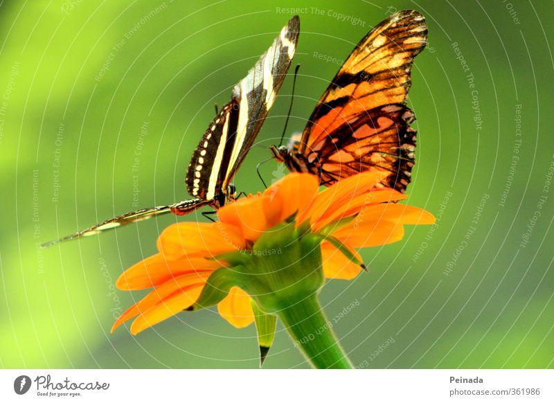 Butterflies Natur grün schön Pflanze Erholung Blume Tier schwarz Wärme Blüte hell Zusammensein orange fliegen Tierpaar sitzen