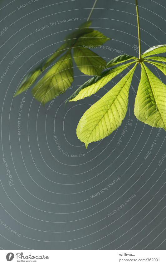 schattiges plätzchen mit lichtblick... Kastanienblatt Kastanienbaum grau grün Licht & Schatten Erholung Farbfoto Außenaufnahme Menschenleer Textfreiraum unten