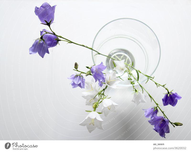 Glockenblumen in Vase Blüte Licht Schatten Blütenblätter Blume Natur Frühling Sommer schön Farbfoto Blühend Menschenleer Blütenblatt ästhetisch natürlich zart