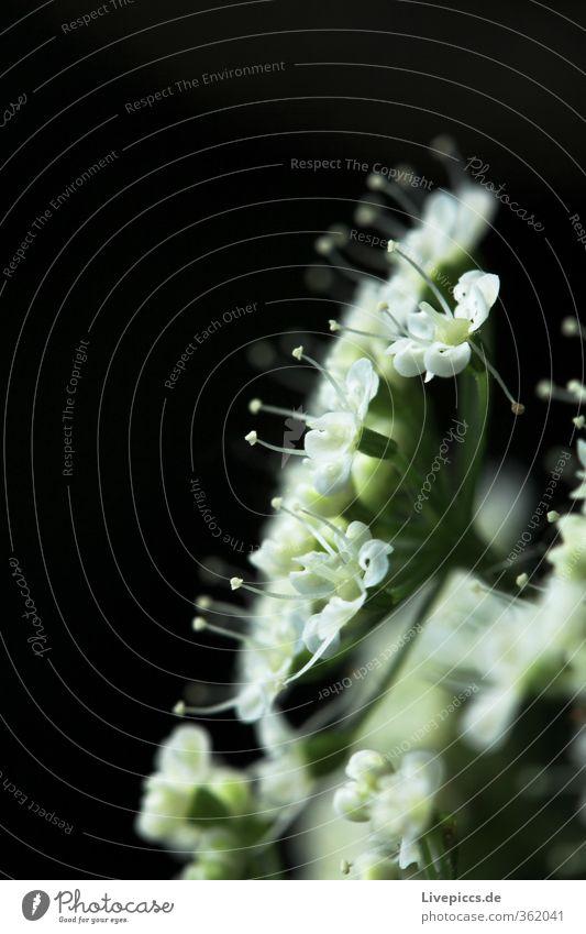 Licht aus! Natur grün schön Sommer Pflanze Blume Blatt schwarz Umwelt Blüte hell leuchten frisch ästhetisch Blühend Duft