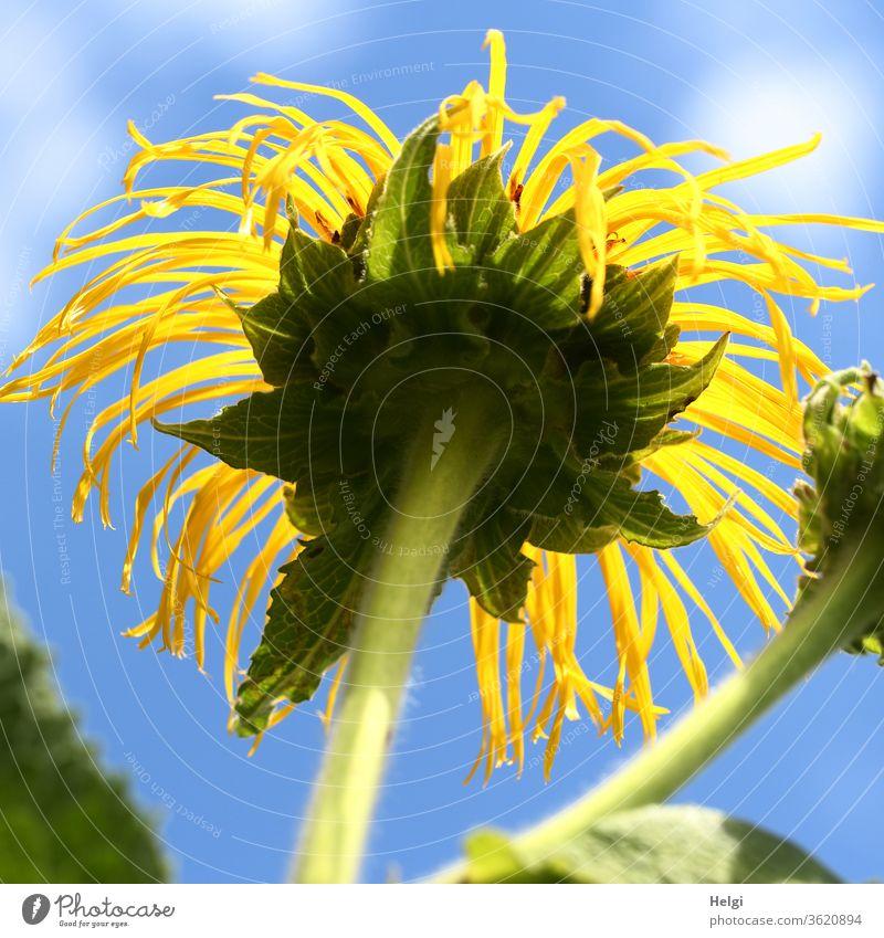 strubbelig - nicht mehr ganz frische gelbe Sommerblume aus der Froschperspektive vor blauem Himmel mit Wölkchen Blume Blüte Sonnenblume Stengel Wolken
