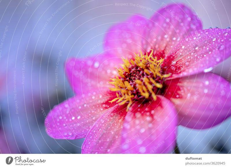 Pinkfarbene Blüte mit Morgentau Florist Blütenpracht Pflanzenschutz erblühen Pflanzenteile Tautropfen Tropfen Blütenkelch frisch Flora Romantik Blütenpflanze