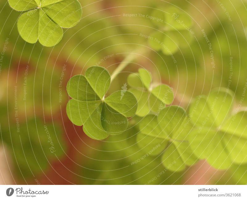 Klee in rosa Blumentopf, Nahaufnahme Kleeblatt Glück Glücksbringer Pflanze grün Im Topf