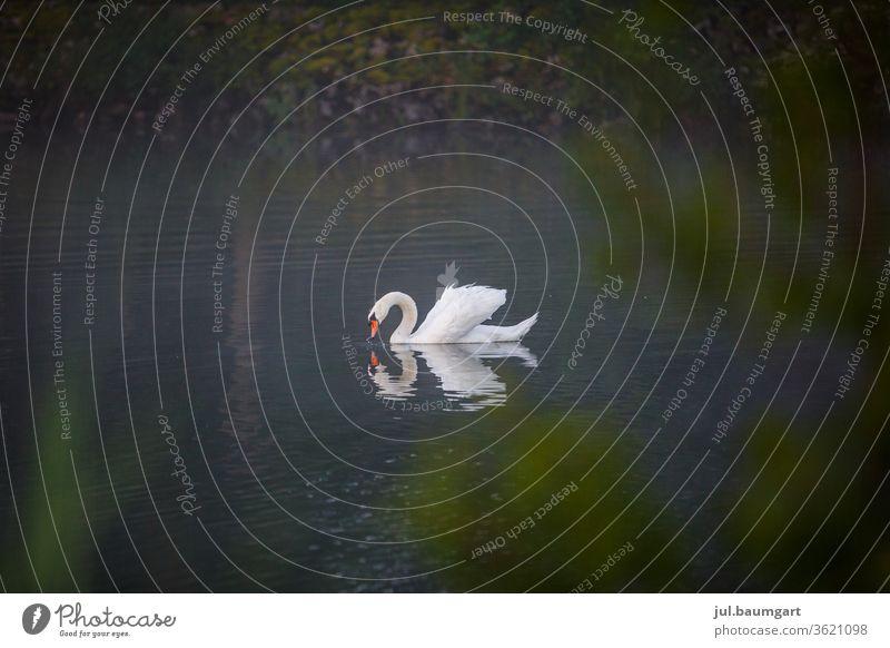 Magie des Schwans am Morgen Stimmung Natur Tiere in der Wildnis Wasser Spiegelung Spiegelbild