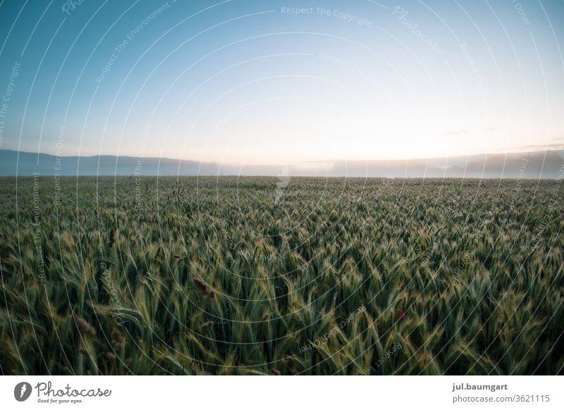 Getreidefeld am Morgen Sommer Feld Landwirtschaft Nutzpflanze Wachstum Natur Farbfoto