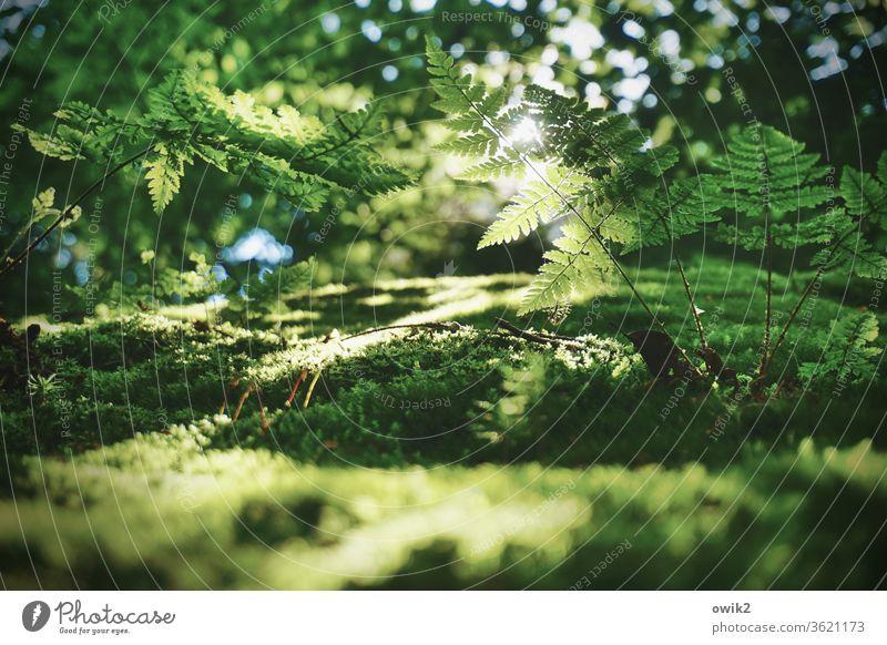 Farn im Gegenlicht Umwelt Natur Landschaft Pflanze Schönes Wetter Sträucher Echte Farne Wald Wachstum grün ruhig Idylle friedlich Waldlichtung Waldrand Farbfoto