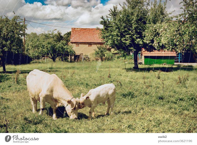 Bisschen knuddeln Tier Kuh Vertrauen friedlich achtsam Wiese Schönes Wetter Interesse Farbfoto Außenaufnahme Detailaufnahme Menschenleer Tierporträt Sonnenlicht