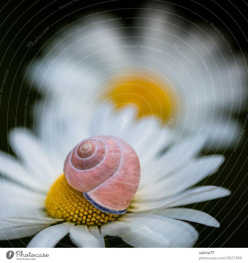 Naturformen   Schnecke und Blüte Margerite Schneckenhaus Blütenblätter Urform Symmetrie Schutz Spirale Makroaufnahme Strukturen & Formen Schwache Tiefenschärfe