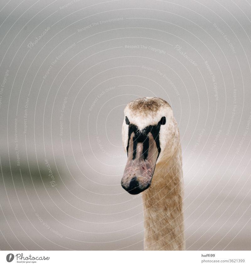 der junger Schwan blickt interessiert in die Kamera - oder gibts was abzustauben ? schwanenhals Vogel Natur Schnabel Hals schön Schwanenhals elegant ästhetisch