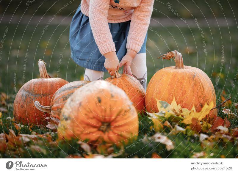 Ausschnittsfoto eines kleinen Mädchens, das versucht, einen Kürbis zu heben. Feld mit Kürbissen. geschnitzter Kürbis Ackerbau Hände halten Kind Saison