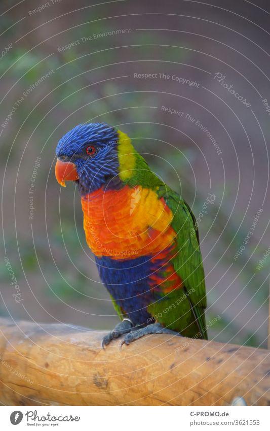 Lori auf Ast lori Honigpapagei Loris Lories Ziervogel Papageienvogel Vogel