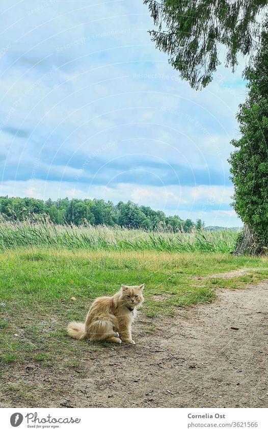 Katze sitzt bei leicht bewölktem Himmel im Schlosspark, im Hintergrund grünes Schilfgras . Haustier Tier Farbfoto Hauskatze Außenaufnahme Tierporträt Fell Blick