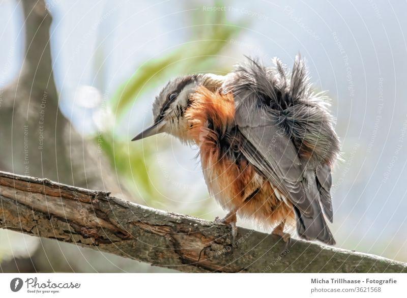 Zerzauster Kleiber Sitta europaea Tiergesicht Auge Schnabel Feder gefiedert Flügel zerzaust Krallen Vogel Wildtier Baum Kopf Gefieder Federn Wildvogel Natur