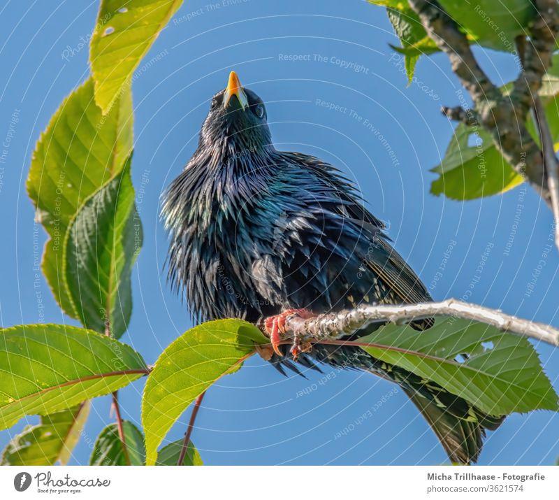 Star im Baum Sturnus vulgaris Tiergesicht Vogel Schnabel Auge Flügel Feder Krallen Kopf Gefieder strahlend glänzend Wildtier Natur Zweige Äste Laub Blätter