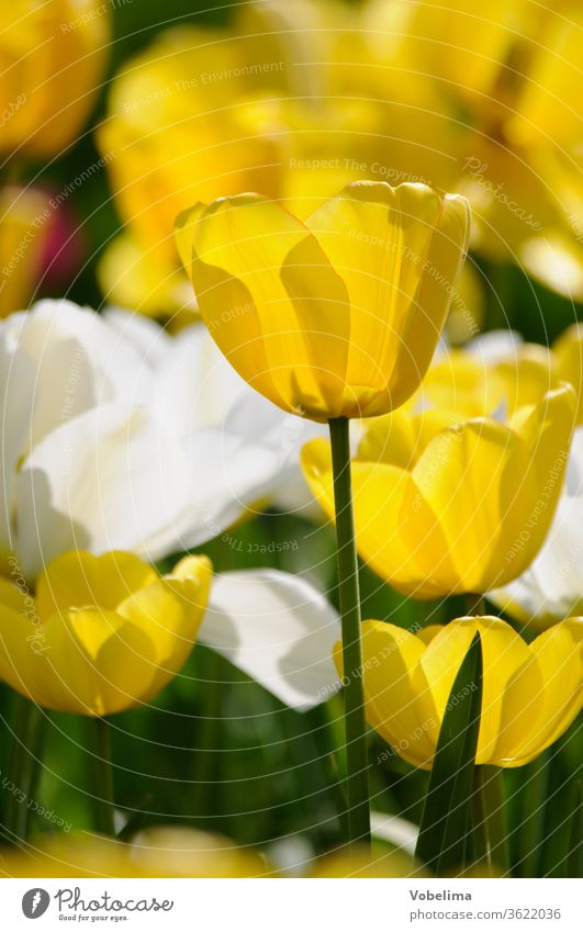 Tulpen tulpe tulipa gelb weiß garten gartenblume gartenblumen blumengarten zierpflanze zierpflanzen liliengewächse blüte blüten