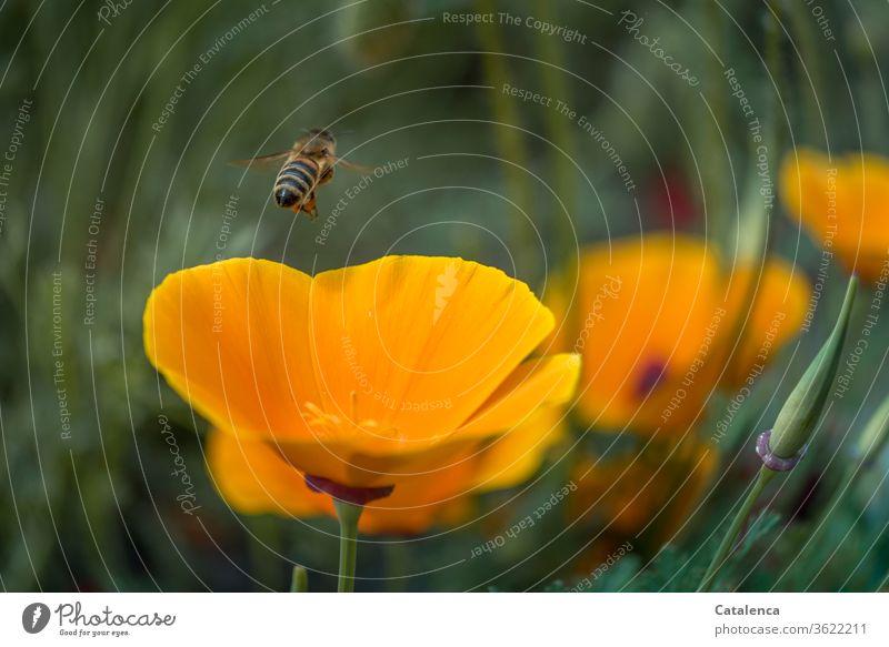 Buzzy Mohntagmorgen Flora Fauna Pflanze Tier Kalifornischer Mohn Mohnkapsel gelber Mohn Blume Blüte Mohnblüte Grün Natur Garten Pollen Insekt Honigbiene Biene