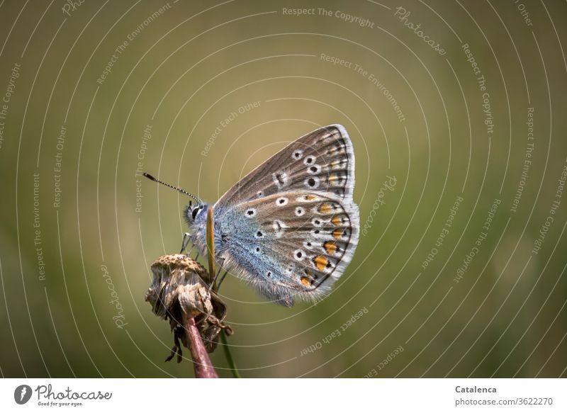 Ein Bläuling rastet auf einer verblühten Pusteblume Fauna Tier Insekt Schmetterling Falter tagaktiv Tierporträt klein Flora Pflanze Löwenzahn Natur verblühen