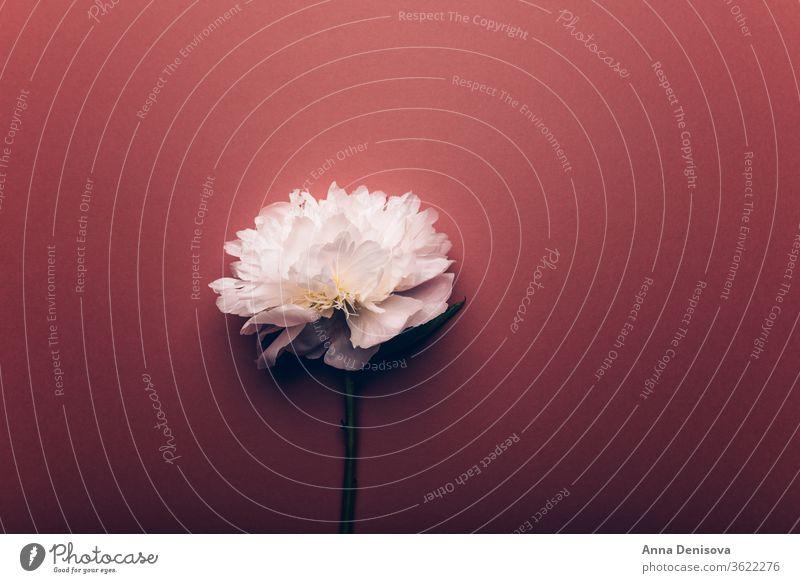White Peony, schlichte Eleganz Pfingstrose rosa Haufen Blume Blumenstrauß Pastell geblümt Blütenblätter Tapete Postkarte Frühling Liebe Sommer Feiertage