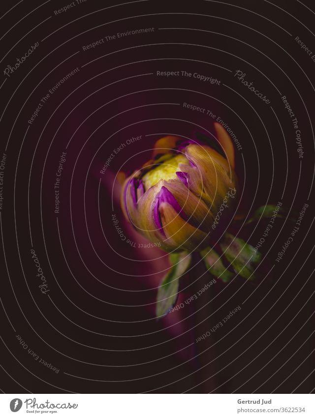 Dahlienknospe am Abend Blume Blumen und Pflanzen Farbe rot Graz Natur Blüte Sommer Garten Nahaufnahme schön Farbfoto Außenaufnahme Blütenblatt