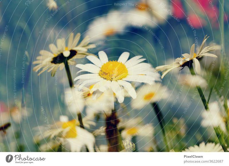 Gänseblümchen Blumen Natur Pflanze Blüte Sommer Garten schön Blühend Flora