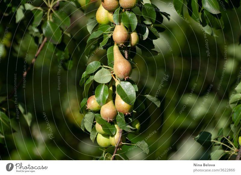 Birnenstrauß am Ast eines Baumes, erste Herbsternte, Früchte, ökologischer Gartenbau. Gesundes Leben. Nahaufnahme. Haufen Sommer Ernte Öko Gartenarbeit