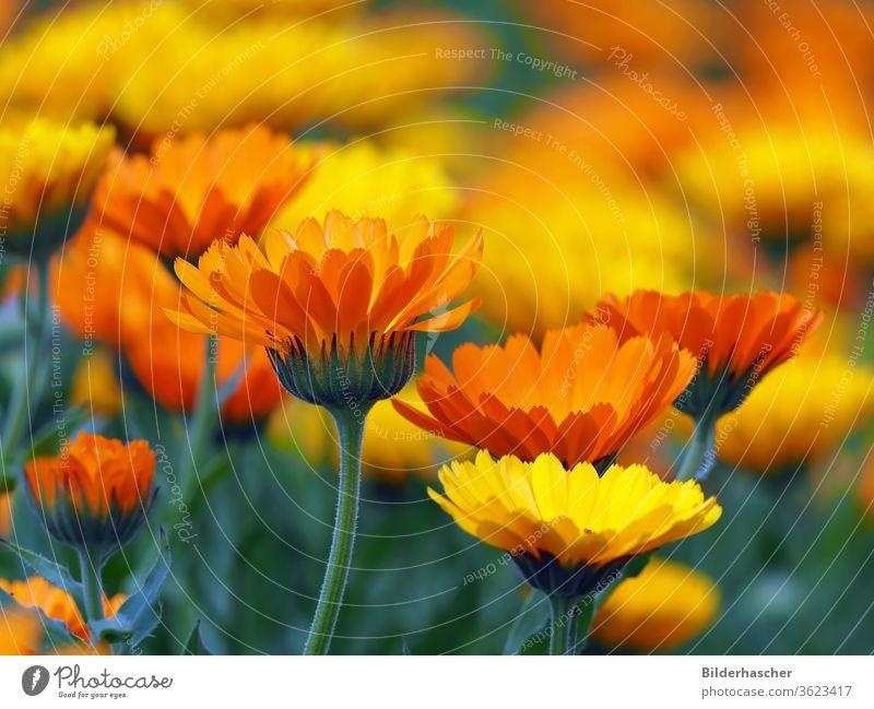 Viele bunte Ringelblumenblüten im Garten heilpflanze ringelblumen arzneipflanze blumenwiese calendula officinalis blumenmeer marigold kräuterheilkunde