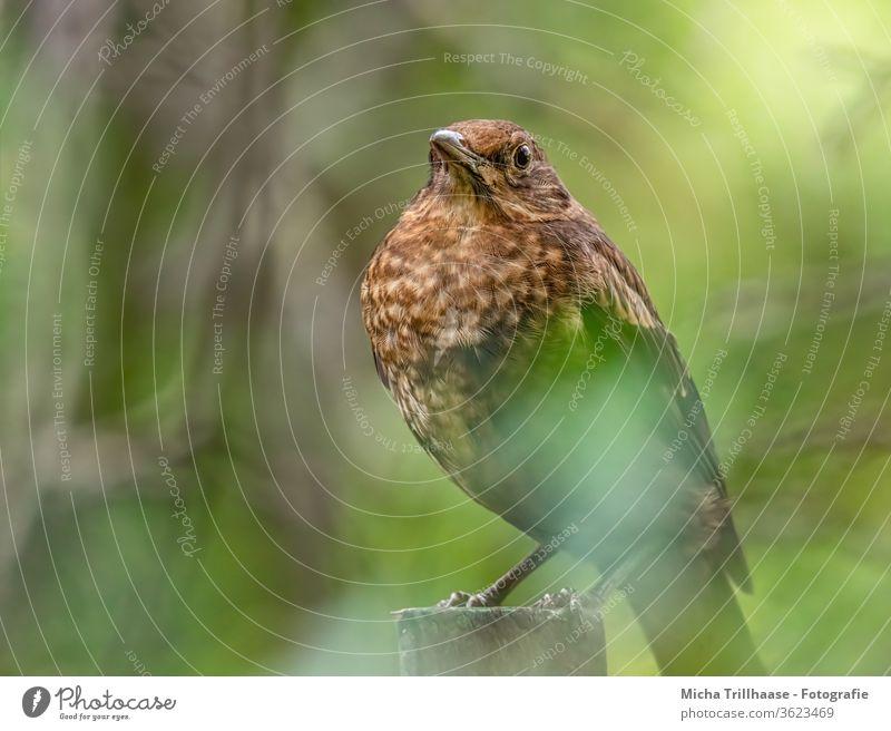 Junge Amsel im Sonnenschein Turdus merula Vogel Tiergesicht Auge Schnabel Kopf Feder Flügel Tierporträt Wildtier Natur Sonnenlicht Licht gefiedert sitzen Baum
