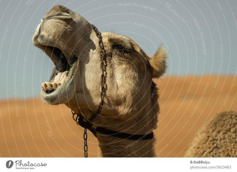 Langweilig... gähnendes Dromedar in der omanischen Wüste. Oman Reisen müde langweilig Sand Kamel Ferien & Urlaub & Reisen Tier Außenaufnahme Natur heiß
