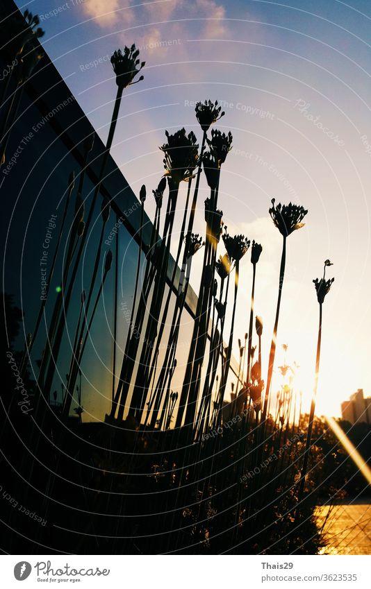 schwarze, dunkle Silhouetten von Blumen, die bei Sonnenuntergang in den Himmel schauen Pflanze Sonnenlicht Natur blau Blüte Feld Landschaft Hintergrund Licht