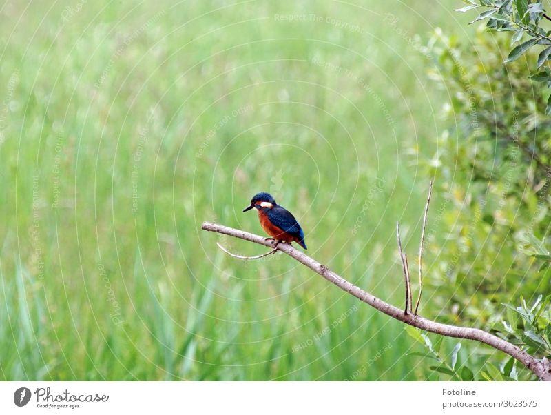 Ein kleiner Eisvogel sitzt auf einem abgestorbenen Ast und hält nach seinem nächsten Fischlein Ausschau Vogel Eisvögel Tier Außenaufnahme Farbfoto 1 Wildtier