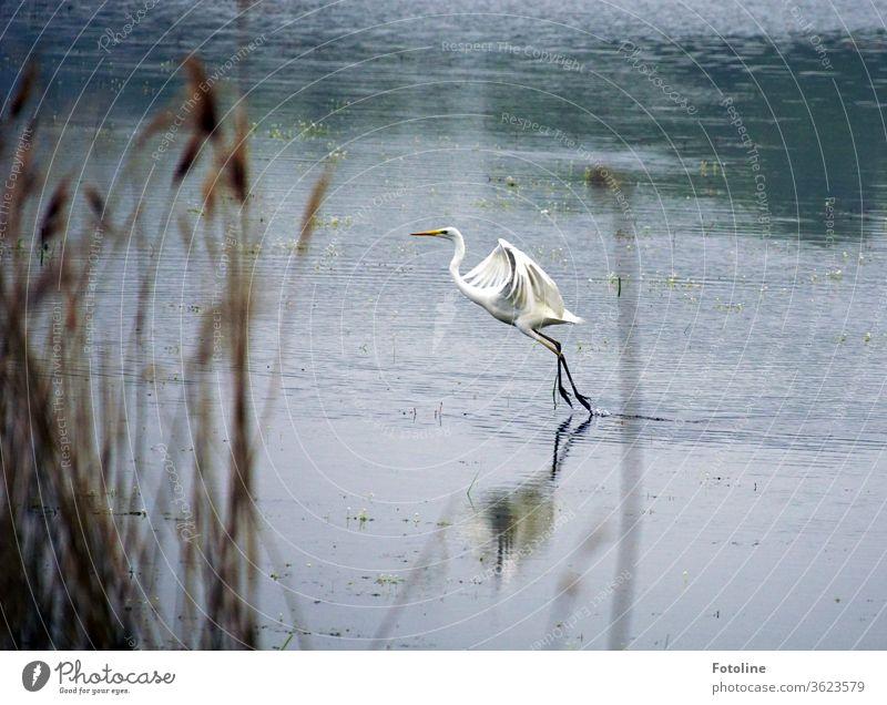 Tanz auf dem See - oder ein Silberreiher, der losfliegt um besser Fische fangen zu können. Reiher Vogel Tier Natur Farbfoto Außenaufnahme Menschenleer Tag