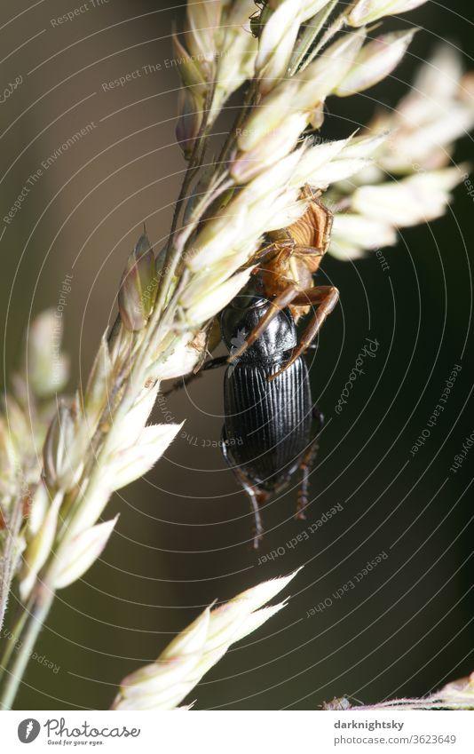 Spinne mit Käfer als Beute Insekten Spinnen Makro Tier Makroaufnahme Farbfoto Natur Schwache Tiefenschärfe grün Nahaufnahme Außenaufnahme Umwelt spinnen