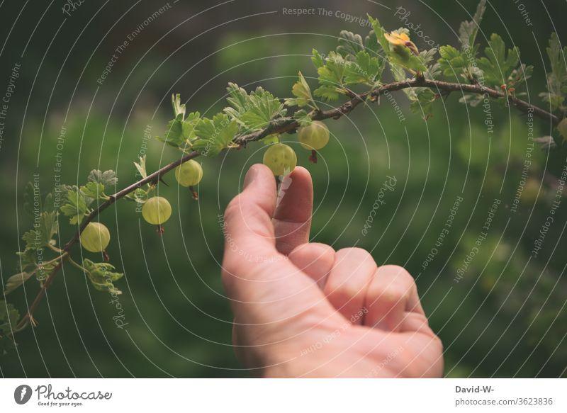 frische Stachelbeeren ernten Hand Obst reif pflücken Finger Starke Tiefenschärfe Garten Erntezeit lecker grün gesund Eigenanbau Frucht Sommer fruchtig Natur